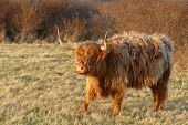 Scottish Highlander..