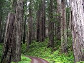 Road Through The Redwoods