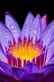picture of water lily  - Macro yellow carpel and water drops in purple Lotus or Water Lily flower on black background - JPG