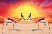Two Springbok Antelope (Antidorcas marsupialis) against beautiful sunset.