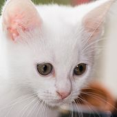 Portrait Of White, Six Weeks Old Kitten