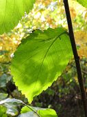 foto of elm  - asymmetry of sunlited Elm leaf in autumn