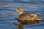 Female Mallard Duck Swimming In A River