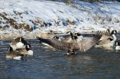 stock photo of snow goose  - Canada Goose Stretching Its Wings Standing in a Winter River