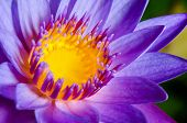 stock photo of water lily  - Close up yellow carpel in purple Lotus or Water Lily flower - JPG