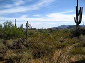Sonoran Desert With Cati