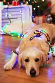 picture of labrador  - Labrador lying with garland on wooden floor and Christmas decoration background - JPG