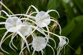 White lily flowers in a garden ; Spider Lily