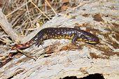 picture of illinois  - Tiger Salamander  - JPG