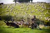 Sheep and Equipment