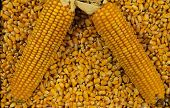 Yellow corn cobs on kernels