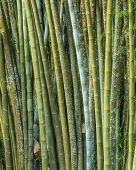 picture of bamboo forest  - Close up big fresh bamboo grove in green color at Thailand forest - JPG