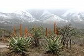 Snow And Aloes