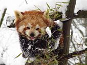 picture of pandas  - red panda sitting on the tree and eating leaves in winter  - JPG