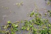 pic of water cabbage  - Water hyacinth in pond green plant nature - JPG