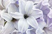Hyacinth Closeup