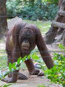 Huge Orangutan