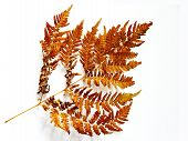 Brown Fern