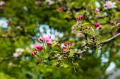 stock photo of bud  - Closeup of the red colored buds of a crabapple tree in the early spring season - JPG