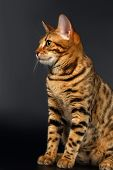 foto of bengal cat  - Bengal Cat Sits Looking on Black background - JPG