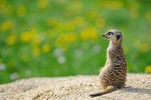 image of meerkats  - Meerkat on watch with green grass full of dandelions in background - JPG