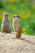 image of meerkats  - Two Meerkats on watch on sandy ground with green grass on background - JPG