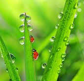 pic of morning  - Fresh morning dew and ladybirds - JPG