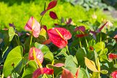 foto of bisexual  - Flamingo Flower or Boy Flower flower - JPG