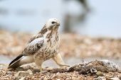 picture of buzzard  - Common Blonde buzzard in nature - JPG