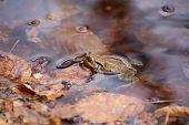 foto of orange frog  - Moor frog  - JPG