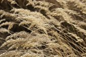 stock photo of steppes  - The heads of steppe grass at bright sunlight close up - JPG