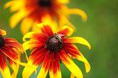 picture of pollen  - Honey bee gathering pollen on rudbeckia flower - JPG