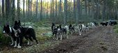 stock photo of sled  - Autumn training sleds Chukchi sled dogs harnessed to the ATV - JPG