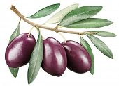 picture of kalamata olives  - Kalamata olives with leaves on a white background - JPG