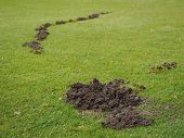 picture of mole  - Mole damage to a Golf course fairway in Nuremberg - JPG