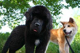 stock photo of newfoundland puppy  - Posing puppies of Akita Inu and Newfoundland dog - JPG