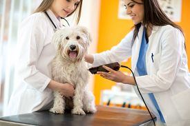 stock photo of maltese  - Veterinarians shaving sick Maltese dog and preparing for intervention - JPG