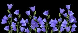picture of blue-bell  - Growing blue bells isolated on a black background - JPG