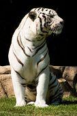 weiße Tiger genießt Nachmittagssonne