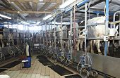 pic of moo-cow  - automatic milking system AMS industry cow farm - JPG