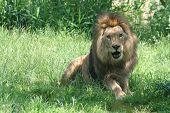 Lions 7
