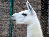 White Young Lama