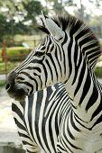 Grant's zebra (Equus quagga boehmi)