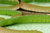 Victoria Amazonica Leaves (Close Up) poster