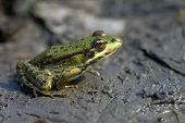 The Lake Frog