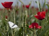 White Butterfly At Rue And Poppies Field