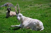 picture of swales  - Goat in Altyn - JPG