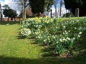 Church Yard Daffodiles