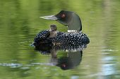 Common Loon and Chick