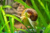 Постер, плакат: Ampularia Snail Crawling On A Leaf Aquarium Plants